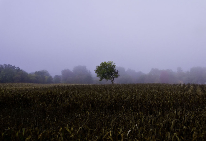 Lone Tree in Corn Field
